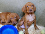 (Hungarian) Vizsla puppies for sale, 9 weeks old - ready for collection