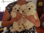 Adorable Maltese Puppies Kc Reg