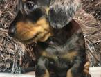 Stunning Miniature Dachshunds Puppies