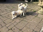 Fully Vaccinated Golden Retriever Puppies for sale