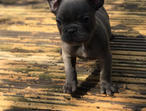 Blue French Bulldog puppies ready now