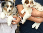 Australian Shepherd Puppies Potty Trained