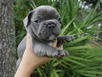 Blue french bulldog puppies for sale!!! just in time for the holidays!!