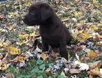 Only One Female Left, Chocolate Labrador Puppy.