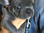 !!!!!!!!!kennel club registered French bulldog puppies ready to leave!!!!!!!!