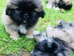 Stunning Litter Of Pekingese Pups