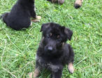 Beautiful Quality German Shepherd puppies for sale