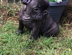 French Bulldogs Kc Reg