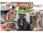 Outstanding Full Suited British Bulldog Puppies