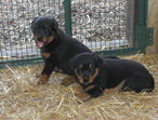 Rottweiler Pedgree  K/C Reg  Puppies Big Cuddly Bears For Sale 47 years