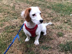 Cavashon Puppy for Sale in Buckinghamshire