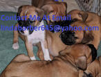 kc registered puppies ( boxer)