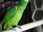 Yellow crowned amazon parrot about 3yrs old