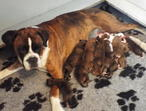 Security Guard Species, Boxer Comando puppies