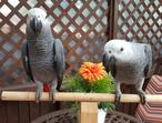 Hand Reared Talking Baby Congo African Grey Parrots