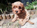 2 Beautiful Cavapoo puppies for sale