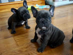 French bulldog puppies for adoption .