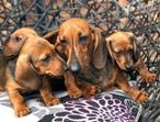 Happy and healthy - Outstanding little Beautiful Miniature Dachshund