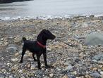 Patterdale Terrier for sale