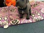 5* Staffordshire Bull Terrier Puppies, Pick-up only.