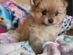 Teddy Bear Pom Puppy