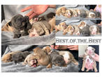 Best.Of.The.Best Rare Coloured British Bulldog Puppies