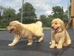 Kc Reg Golden Retriever Puppies/health Tested