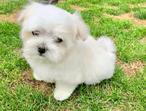 Stunning Full Maltese White Puppy For Sale