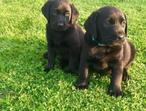 Beautiful, Chunky Pedigree Black Labrador Retriever Pups (5 boys and 3 girls)