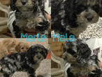 Outstanding Cockapoo Puppies