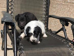 2 Border Collie puppies