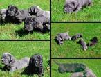 Beautiful Neopolitan Mastiffs Puppies