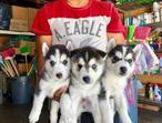Yom-miniatuer to quality 10 wks old siberian husky puppies ready for new homes