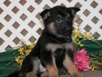 EPITOME-VONROL MICROCHIP BLACK & RED TOP QUTY 10 WKS OLD GERMAN SHEPHERD PUPPIES READY