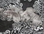 Kc Reg Chunky Champion Line 7 Blue Staffy Puppies Ready 16 October (5 Left)
