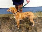 Beautiful greyhound mix puppy