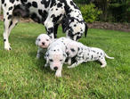 ***ready To View*** Dalmatian Puppies