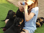 Quality Kc Pups Full European Lines Rottweilers