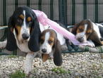 Tri Color Litter Of Basset Hound Puppies for Sale