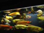 Arowana and other fishes for sale