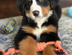 Beautiful Bernese Mountain Dog Pups For Sale