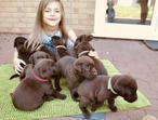 9 Chocolate Labrador Puppies