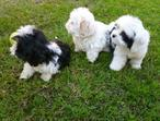 Shih tzu puppies for free adoption .
