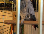 African Grey Parrots Tame N Talking