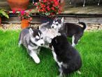 6 Beautiful Siberian Huskies Puppies For Sale