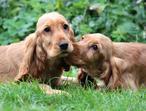 Adorable Golden Cocker Spaniel Puppies!!