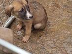 Coile whippet grayhound