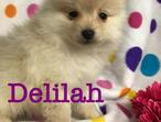 **Beautiful Pomeranian Puppys**