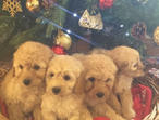 Litter of Cockapoo puppies