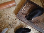 2 beautiful black rabbits only 5 wks old